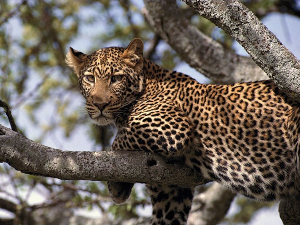 African Animals Life Hanging Out Leopard Tanzania Africa 232566 Wallpaper wallpaper