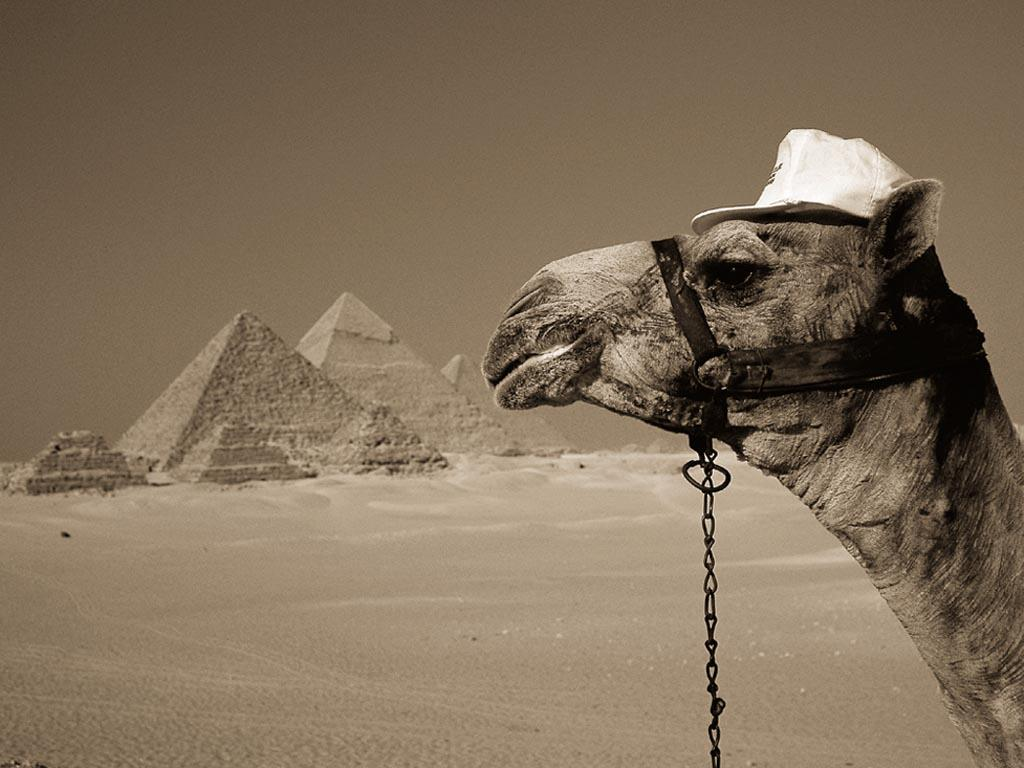Animals For Windows Of Camel To 92286 Wallpaper wallpaper