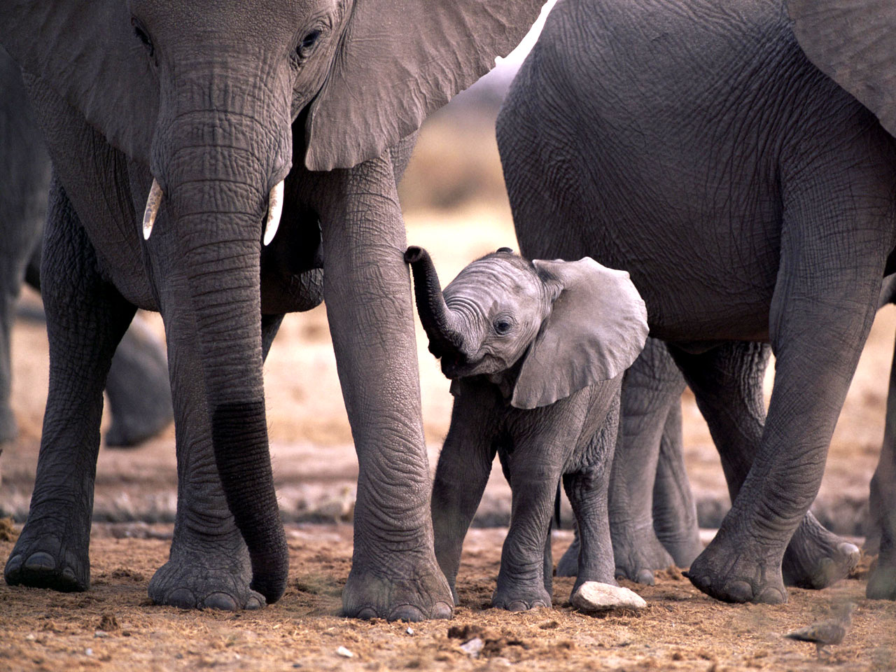 Animal Jungle And N Elephants In Their Natural Habitat Elephant 296467 Wallpaper wallpaper