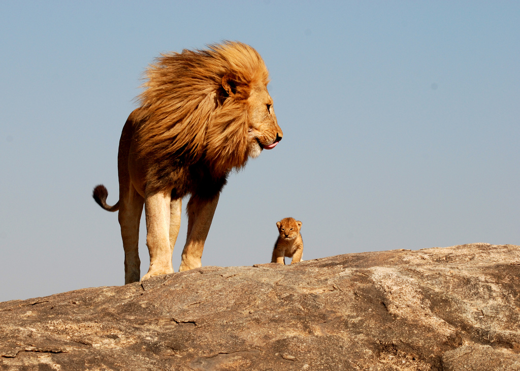 Baby Animals Father And Lion The Free Hd For 391800 Wallpaper wallpaper