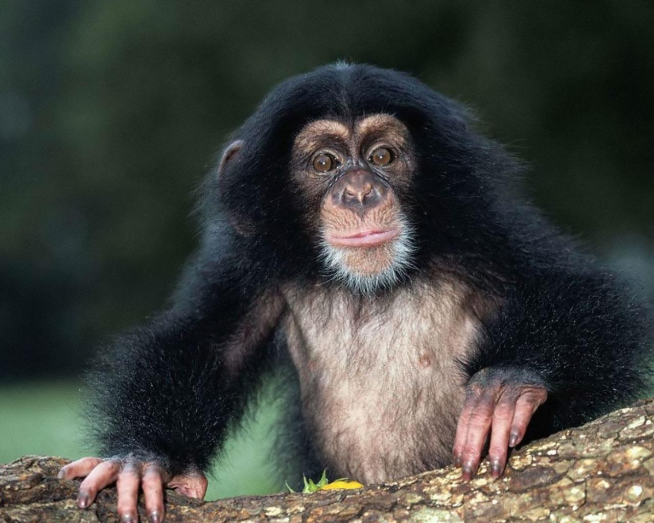 Animal Fresh Life All Animals Chimpanzee 175441 Wallpaper wallpaper