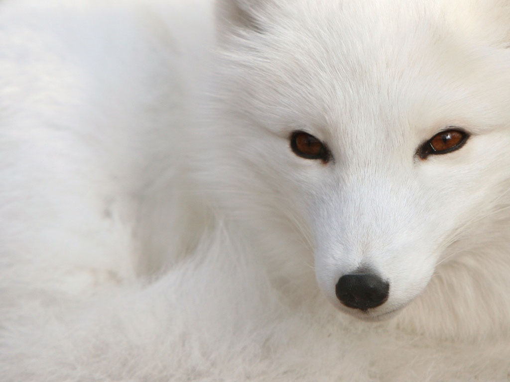 Animal Jungle Fox Rubah White Species Dog 94846 Wallpaper wallpaper