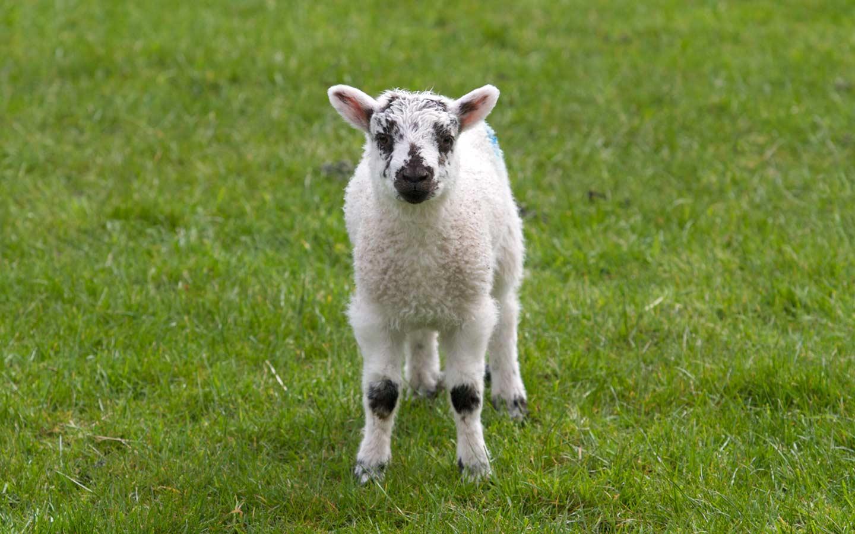 Animals Spring Lamb 138459 Wallpaper wallpaper