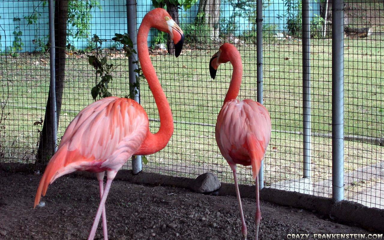 Animal Trapped Flamingos X 318901 Wallpaper wallpaper