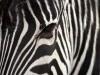 Animal Skin Zebra Backgrounds P O 3939414 Wallpaper wallpaper