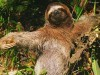 Animal Jungle You Are Viewing The Animals Named Three Toed Sloth It Has 200398 Wallpaper wallpaper
