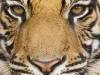 Wild Animals Tiger Head 544607 Wallpaper wallpaper