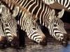Wild Animals Zebras Calm Pictures Kenya X 481656 Wallpaper wallpaper