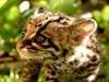 Animal Ocelot Cub 241674 Wallpaper wallpaper