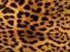 Animal Print Furry Leopard Free Hd 991020 Wallpaper wallpaper
