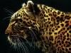 Wild Animals Cat Leopard Free Funny P Os 2209509 Wallpaper wallpaper