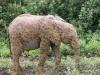 African Animals Elephants Elephant 560258 Wallpaper wallpaper