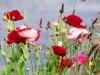 Animal Fresh Life Flowers Poppy 542538 Wallpaper wallpaper