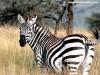 Animal Print Zebra 180817 Wallpaper wallpaper