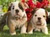 Cute Animals Dogs Bulldog Puppies 247519 Wallpaper wallpaper