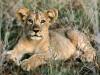 African Animals Hd Cute Little Lion 603087 Wallpaper wallpaper