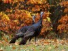 Wild Animals Free Turkeys In Autumn 444902 Wallpaper wallpaper
