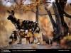 African Animals Wild Dog Fanpop 153540 Wallpaper wallpaper